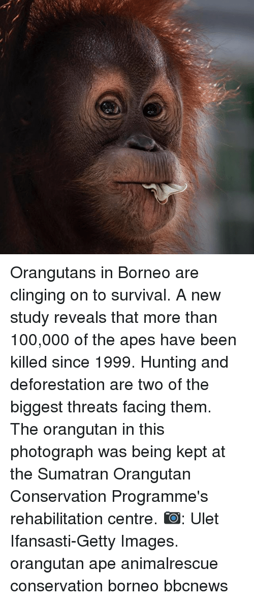 deforestation: Orangutans in Borneo are clinging on to survival. A new study reveals that more than 100,000 of the apes have been killed since 1999. Hunting and deforestation are two of the biggest threats facing them. The orangutan in this photograph was being kept at the Sumatran Orangutan Conservation Programme's rehabilitation centre. 📷: Ulet Ifansasti-Getty Images. orangutan ape animalrescue conservation borneo bbcnews