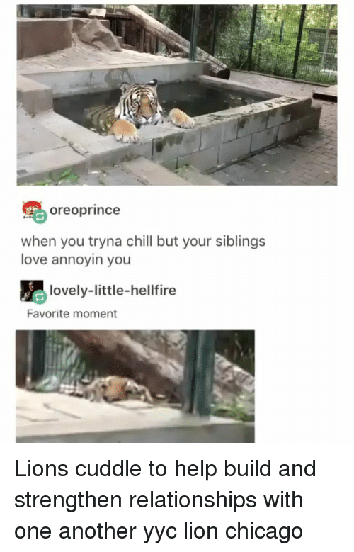 Chicago, Chill, and Love: oreoprince  when you tryna chill but your siblings  love annoyin you  lovely-little-hellfire  Favorite moment Lions cuddle to help build and strengthen relationships with one another yyc lion chicago