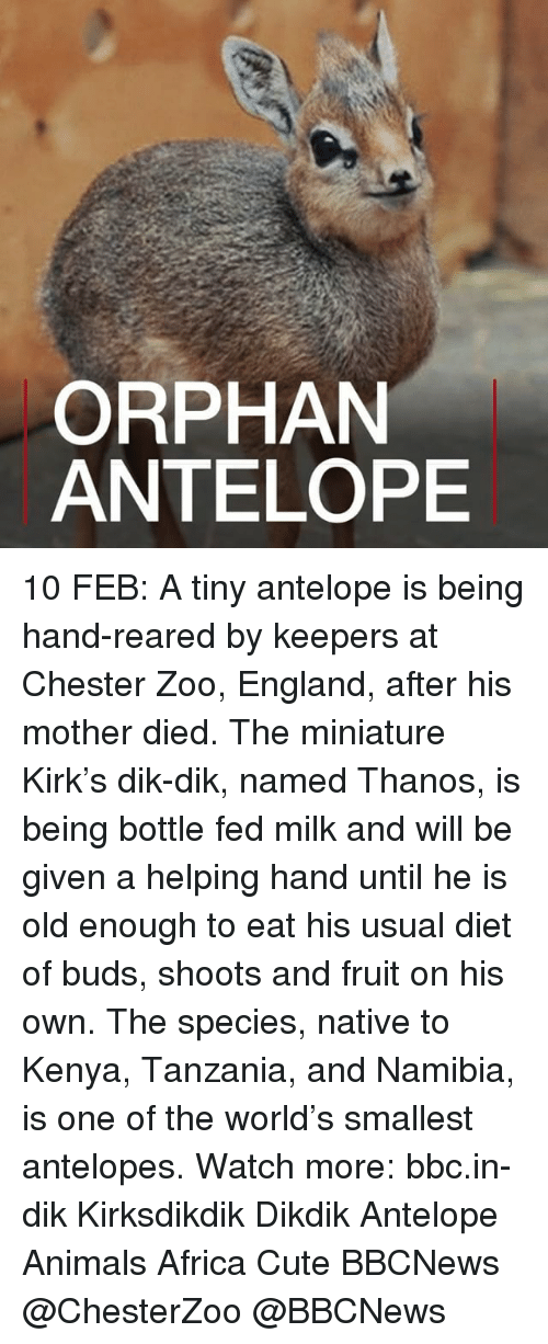 nativism: ORPHAN  ANTELOPE 10 FEB: A tiny antelope is being hand-reared by keepers at Chester Zoo, England, after his mother died. The miniature Kirk's dik-dik, named Thanos, is being bottle fed milk and will be given a helping hand until he is old enough to eat his usual diet of buds, shoots and fruit on his own. The species, native to Kenya, Tanzania, and Namibia, is one of the world's smallest antelopes. Watch more: bbc.in-dik Kirksdikdik Dikdik Antelope Animals Africa Cute BBCNews @ChesterZoo @BBCNews