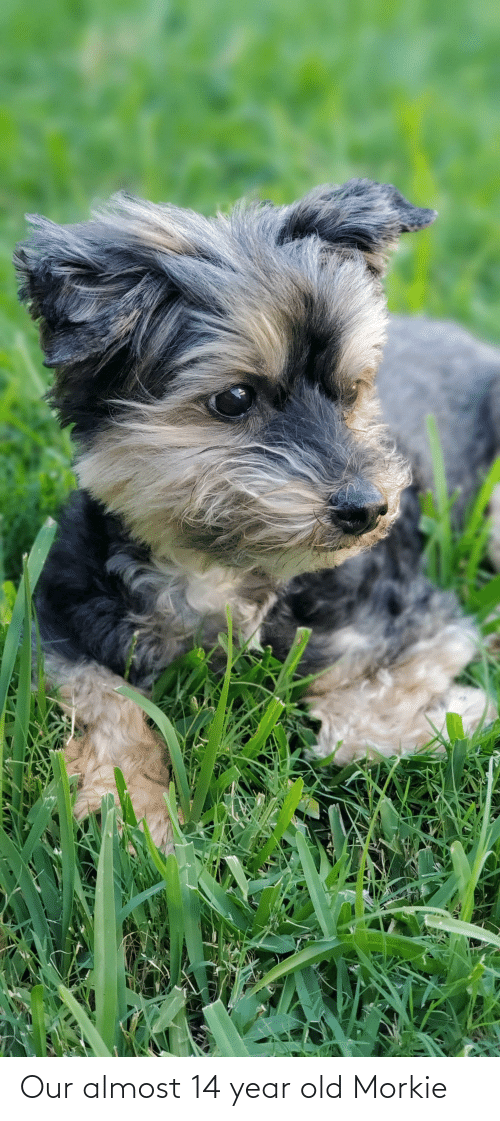 14 Year Old: Our almost 14 year old Morkie