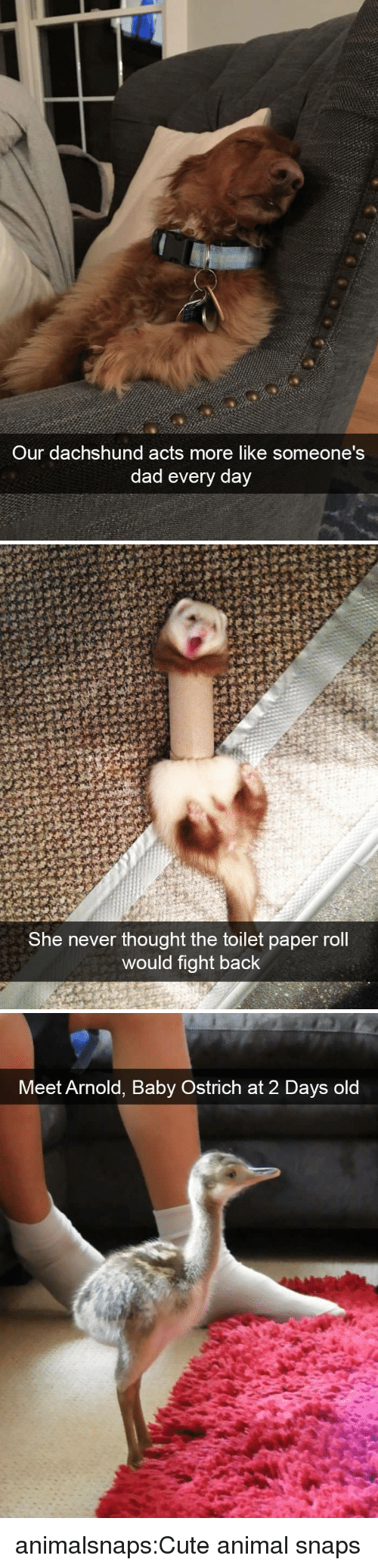 Cute, Dad, and Target: Our dachshund acts more like someone's  dad every day   She never thought the toilet paper roll  would fight back   Meet Arnold, Baby Ostrich at 2 Days old animalsnaps:Cute animal snaps
