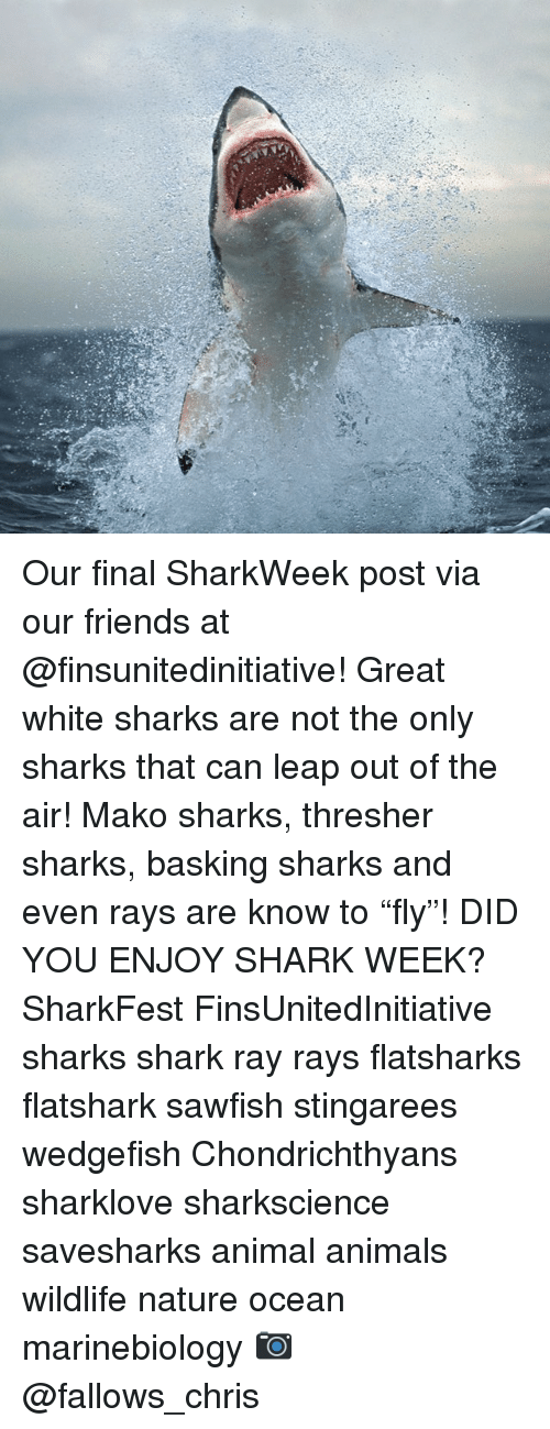 """Animals, Friends, and Memes: Our final SharkWeek post via our friends at @finsunitedinitiative! Great white sharks are not the only sharks that can leap out of the air! Mako sharks, thresher sharks, basking sharks and even rays are know to """"fly""""! DID YOU ENJOY SHARK WEEK? SharkFest FinsUnitedInitiative sharks shark ray rays flatsharks flatshark sawfish stingarees wedgefish Chondrichthyans sharklove sharkscience savesharks animal animals wildlife nature ocean marinebiology 📷 @fallows_chris"""
