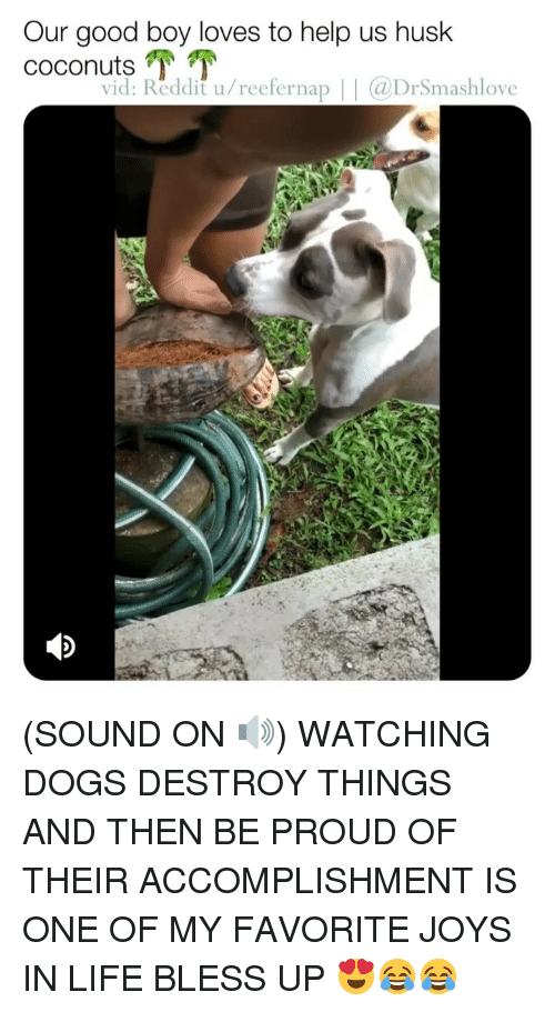 Bless Up, Dogs, and Life: Our good boy loves to help us husk  coconut.TT  vid: Reddit u/reefernap |@DrSmashlove (SOUND ON 🔊) WATCHING DOGS DESTROY THINGS AND THEN BE PROUD OF THEIR ACCOMPLISHMENT IS ONE OF MY FAVORITE JOYS IN LIFE BLESS UP 😍😂😂