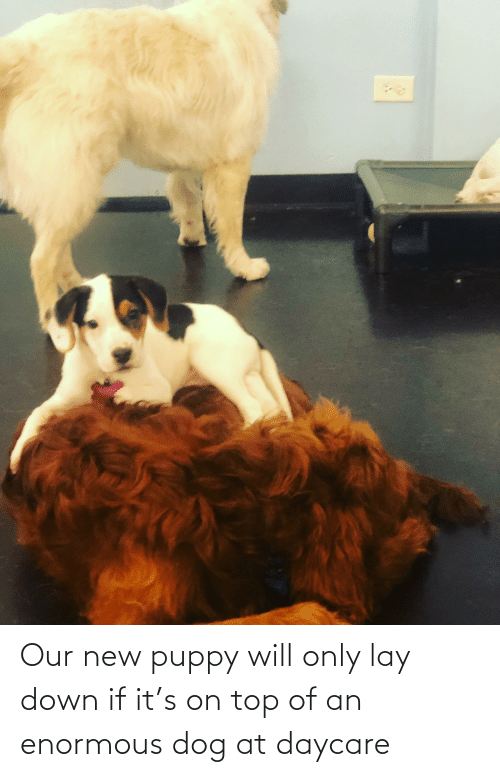 enormous: Our new puppy will only lay down if it's on top of an enormous dog at daycare