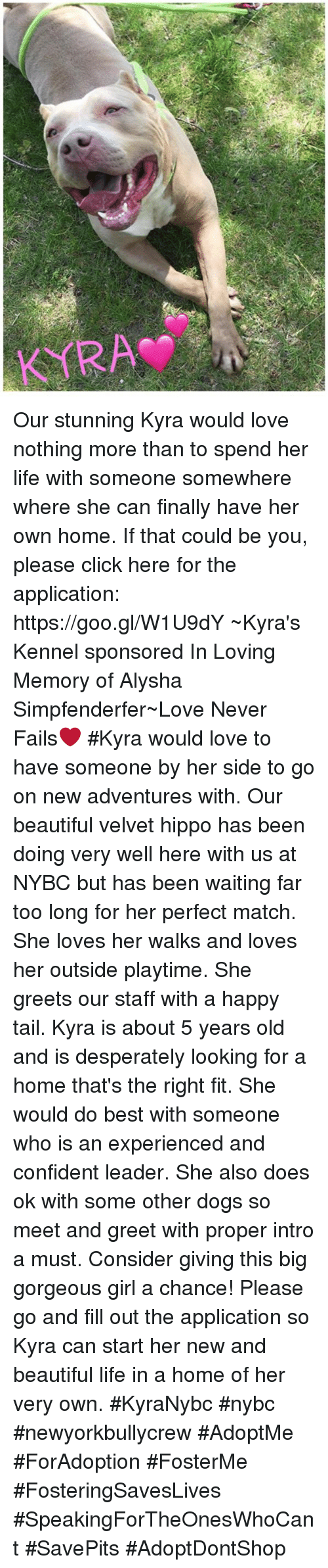 Beautiful, Click, and Dogs: Our stunning Kyra would love nothing more than to spend her life with someone somewhere where she can finally have her own home. If that could be you, please click here for the application: https://goo.gl/W1U9dY  ~Kyra's Kennel sponsored In Loving Memory of Alysha Simpfenderfer~Love Never Fails❤  #Kyra would love to have someone by her side to go on new adventures with. Our beautiful velvet hippo has been doing very well here with us at NYBC but has been waiting far too long for her perfect match. She loves her walks and loves her outside playtime. She greets our staff with a happy tail.   Kyra is about 5 years old and is desperately looking for a home that's the right fit. She would do best with someone who is an experienced and confident leader. She also does ok with some other dogs so meet and greet with proper intro a must.   Consider giving this big gorgeous girl a chance! Please go and fill out the application so Kyra can start her new and beautiful life in a home of her very own.  #KyraNybc #nybc #newyorkbullycrew #AdoptMe #ForAdoption #FosterMe #FosteringSavesLives #SpeakingForTheOnesWhoCant #SavePits #AdoptDontShop