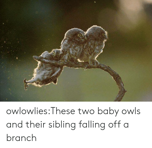owls: owlowlies:These two baby owls and their sibling falling off a branch