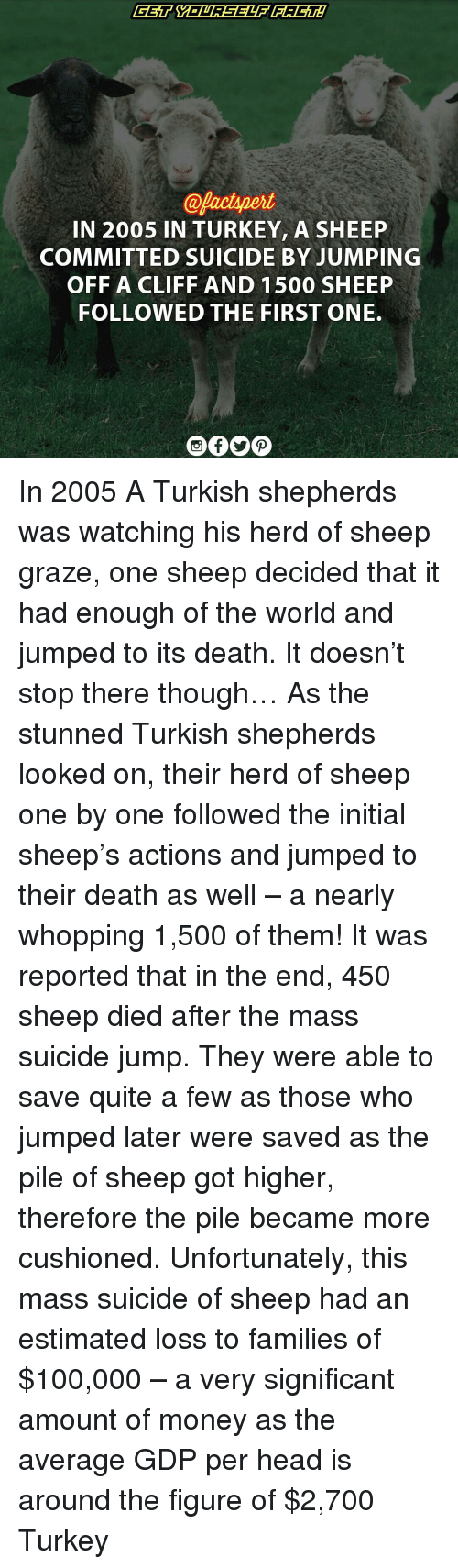 Grazing: @Pactynert  IN 2005 IN TURKEY, A SHEEP  COMMITTED SUICIDE BY JUMPING  OFF A CLIFF AND 1500 SHEEP  FOLLOWED THE FIRST ONE. In 2005 A Turkish shepherds was watching his herd of sheep graze, one sheep decided that it had enough of the world and jumped to its death. It doesn't stop there though… As the stunned Turkish shepherds looked on, their herd of sheep one by one followed the initial sheep's actions and jumped to their death as well – a nearly whopping 1,500 of them! It was reported that in the end, 450 sheep died after the mass suicide jump. They were able to save quite a few as those who jumped later were saved as the pile of sheep got higher, therefore the pile became more cushioned. Unfortunately, this mass suicide of sheep had an estimated loss to families of $100,000 – a very significant amount of money as the average GDP per head is around the figure of $2,700 Turkey