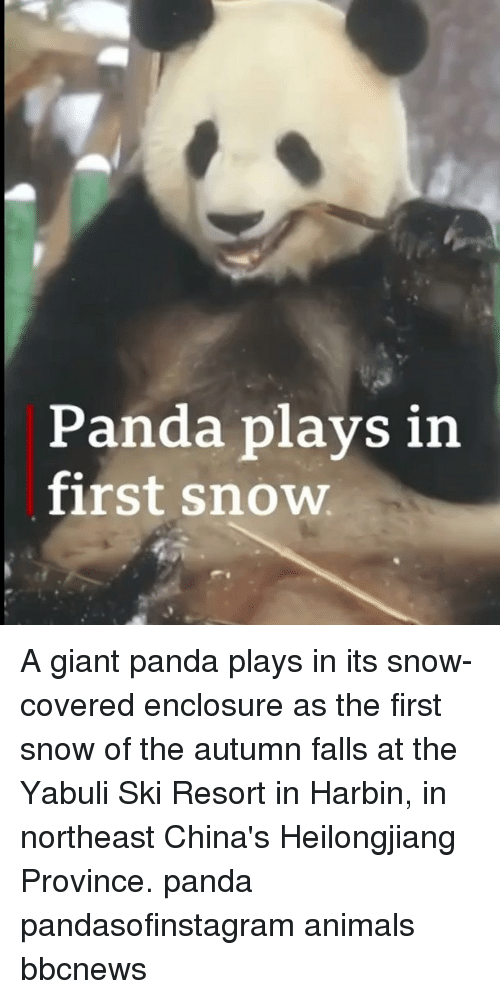 giant panda: Panda plays in  first snow A giant panda plays in its snow-covered enclosure as the first snow of the autumn falls at the Yabuli Ski Resort in Harbin, in northeast China's Heilongjiang Province. panda pandasofinstagram animals bbcnews