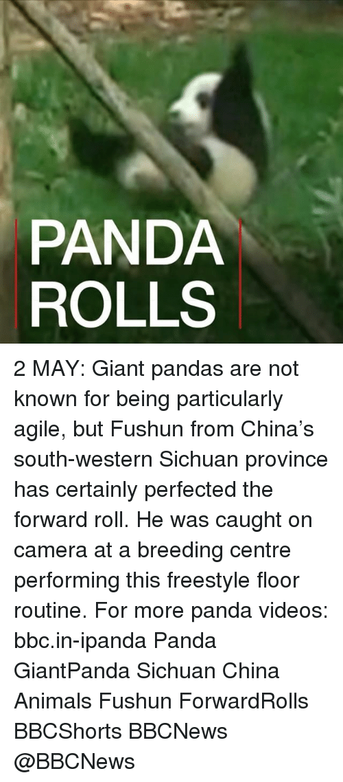 Animals, Memes, and Videos: PANDA  ROLLS 2 MAY: Giant pandas are not known for being particularly agile, but Fushun from China's south-western Sichuan province has certainly perfected the forward roll. He was caught on camera at a breeding centre performing this freestyle floor routine. For more panda videos: bbc.in-ipanda Panda GiantPanda Sichuan China Animals Fushun ForwardRolls BBCShorts BBCNews @BBCNews