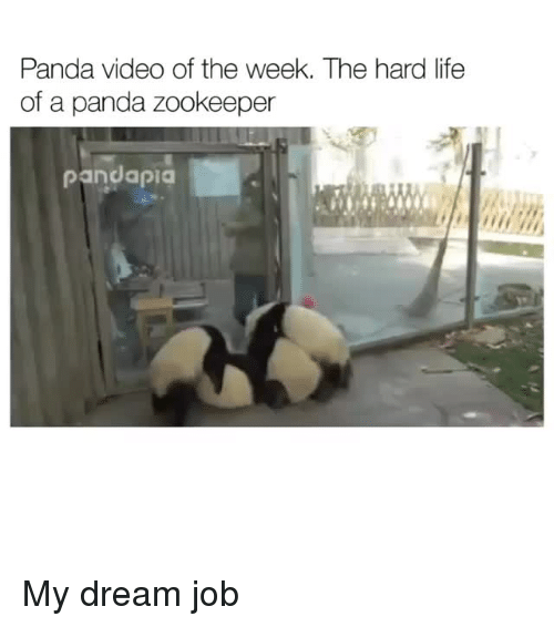 Life, Panda, and Video: Panda video of the week. The hard life  of a panda zookeeper  pandapica My dream job