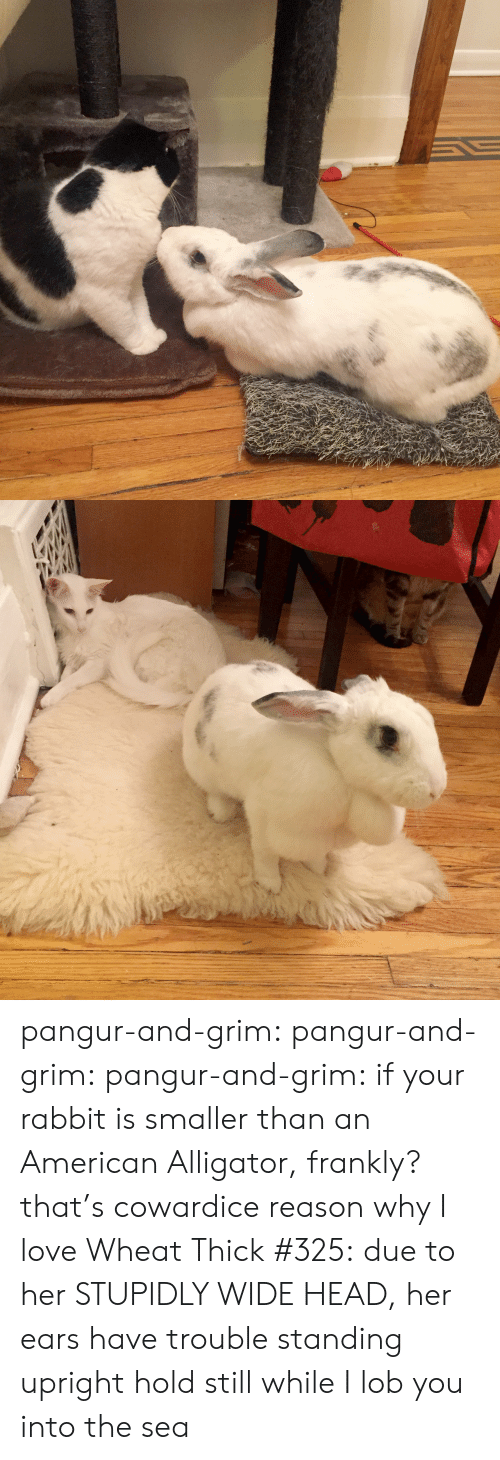 frankly: pangur-and-grim: pangur-and-grim:  pangur-and-grim: if your rabbit is smaller than an American Alligator, frankly? that's cowardice reason why I love Wheat Thick #325:due to her STUPIDLY WIDE HEAD, her ears have trouble standing upright  hold still while I lob you into the sea