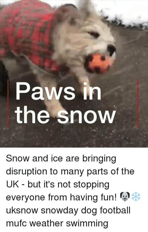 Football, Memes, and Snow: Paws irn  the snow Snow and ice are bringing disruption to many parts of the UK - but it's not stopping everyone from having fun! 🐶❄️ uksnow snowday dog football mufc weather swimming