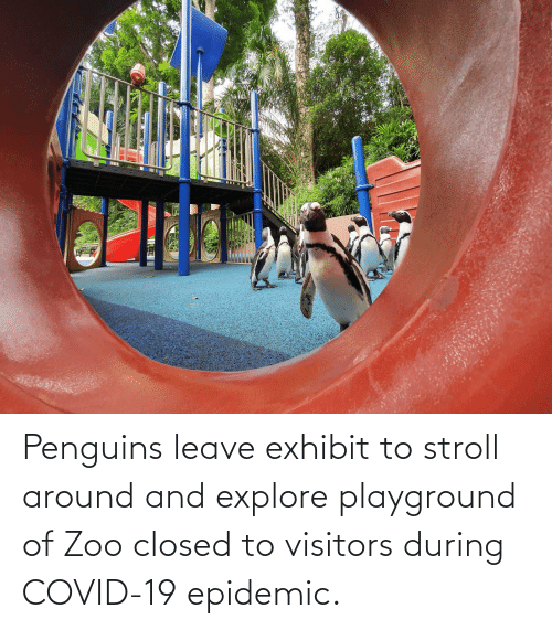 explore: Penguins leave exhibit to stroll around and explore playground of Zoo closed to visitors during COVID-19 epidemic.