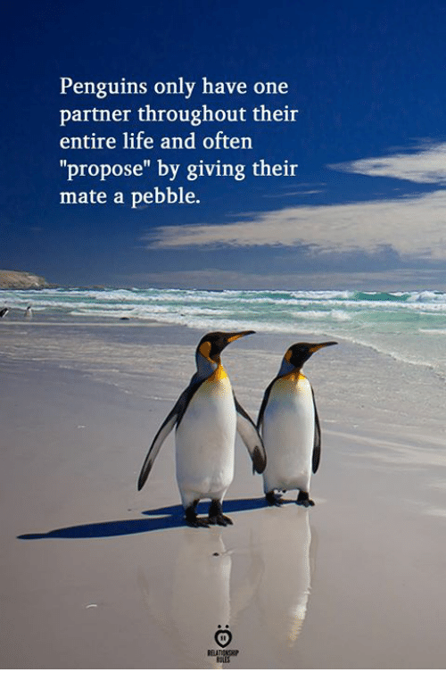 """Life, Penguins, and One: Penguins only have one  partner throughout their  entire life and often  """"propose"""" by giving their  mate a pebble."""