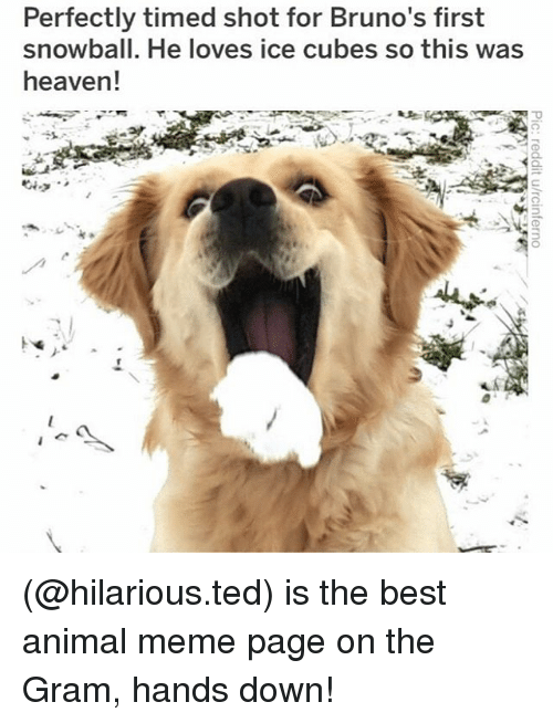 Animal Meme: Perfectly timed shot for Bruno's first  snowball. He loves ice cubes so this was  heaven! (@hilarious.ted) is the best animal meme page on the Gram, hands down!