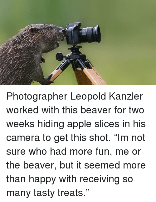 "Apple, Camera, and Happy: Photographer Leopold Kanzler worked with this beaver for two weeks hiding apple slices in his camera to get this shot. ""Im not sure who had more fun, me or the beaver, but it seemed more than happy with receiving so many tasty treats."""