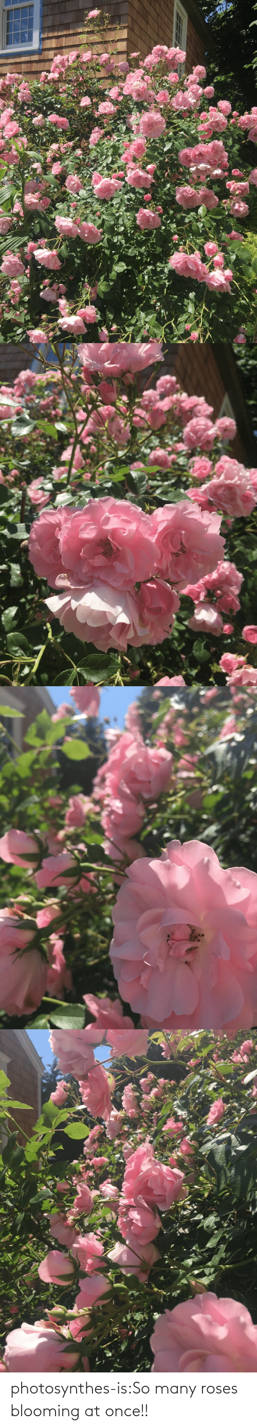 roses: photosynthes-is:So many roses blooming at once!!