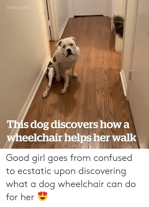 Confused, Girl, and Good: @pigeonpup  This dog discovers how a  wheelchair helps her walk Good girl goes from confused to ecstatic upon discovering what a dog wheelchair can do for her 😍