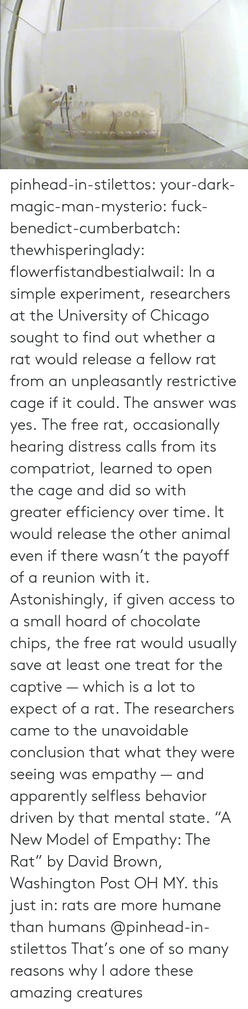 "Washington Post: pinhead-in-stilettos:  your-dark-magic-man-mysterio:  fuck-benedict-cumberbatch:   thewhisperinglady:  flowerfistandbestialwail:   In a simple experiment, researchers at the University of Chicago sought to find out whether a rat would release a fellow rat from an unpleasantly restrictive cage if it could. The answer was yes. The free rat, occasionally hearing distress calls from its compatriot, learned to open the cage and did so with greater efficiency over time. It would release the other animal even if there wasn't the payoff of a reunion with it. Astonishingly, if given access to a small hoard of chocolate chips, the free rat would usually save at least one treat for the captive — which is a lot to expect of a rat. The researchers came to the unavoidable conclusion that what they were seeing was empathy — and apparently selfless behavior driven by that mental state. ""A New Model of Empathy: The Rat"" by David Brown, Washington Post   OH MY.  this just in: rats are more humane than humans   @pinhead-in-stilettos  That's one of so many reasons why I adore these amazing creatures"