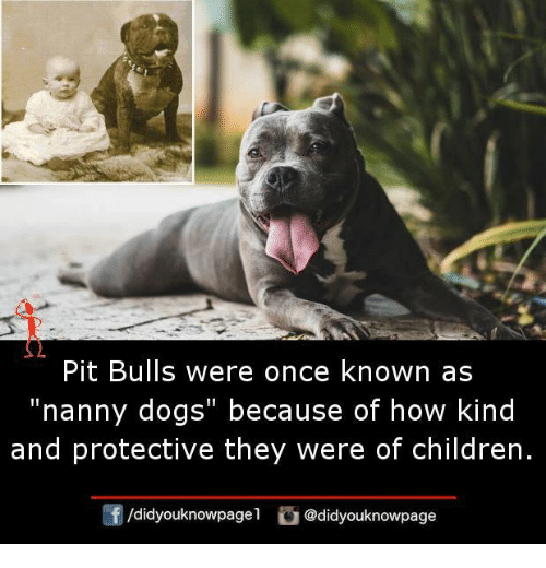 """Children, Dogs, and Memes: Pit Bulls were once known as  """"nanny dogs"""" because of how kind  and protective they were of children.  /didyouknowpagel  @didyouknowpage"""