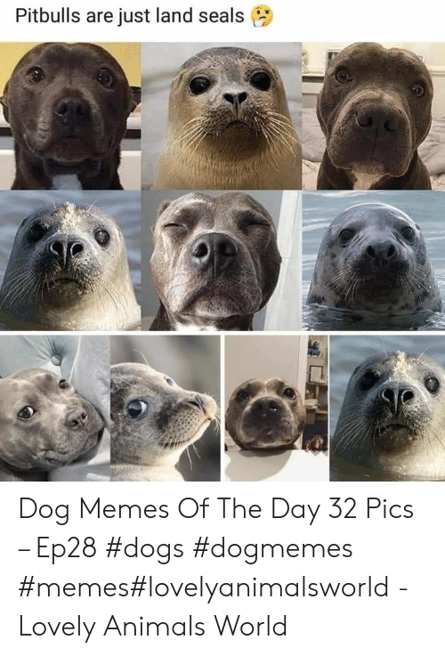 Animals, Dogs, and Memes: Pitbulls are just land seals Dog Memes Of The Day 32 Pics – Ep28 #dogs #dogmemes #memes#lovelyanimalsworld - Lovely Animals World