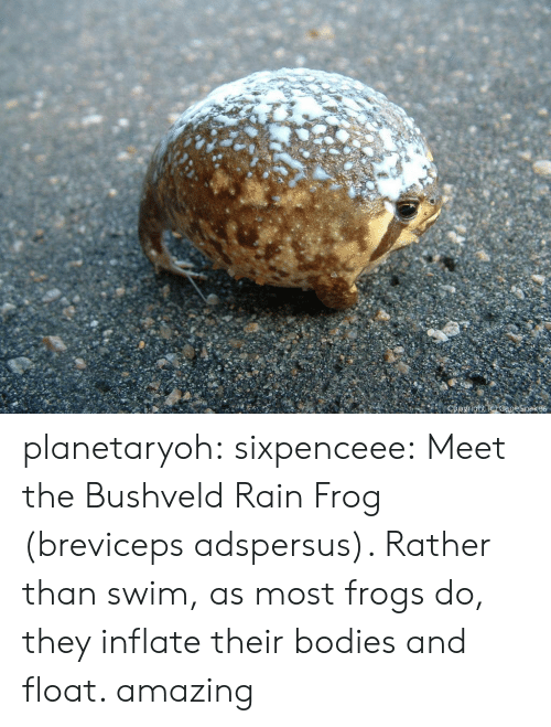 Raine: planetaryoh: sixpenceee:   Meet the Bushveld Rain Frog (breviceps adspersus). Rather than swim, as most frogs do, they inflate their bodies and float.     amazing