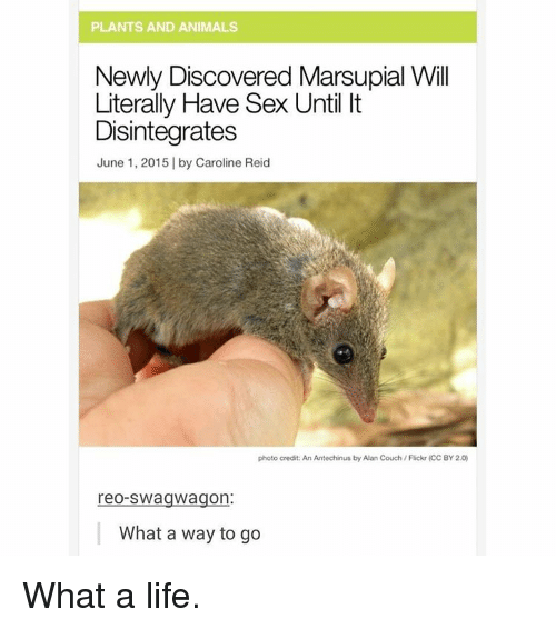 Memes, Swag, and Couch: PLANTS AND ANIMALS  Newly Discovered Marsupial Will  Literally Have Sex Until It  Disintegrates  June 1, 2015 I by Caroline Reid  photo credit: An Antechinus by Alan Couch Flickr (CC BY 2.0)  reo-Swag wagon:  What a way to go What a life.