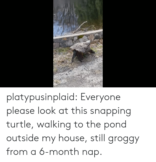 Pond: platypusinplaid: Everyone please look at this snapping turtle, walking to the pond outside my house, still groggy from a 6-month nap.