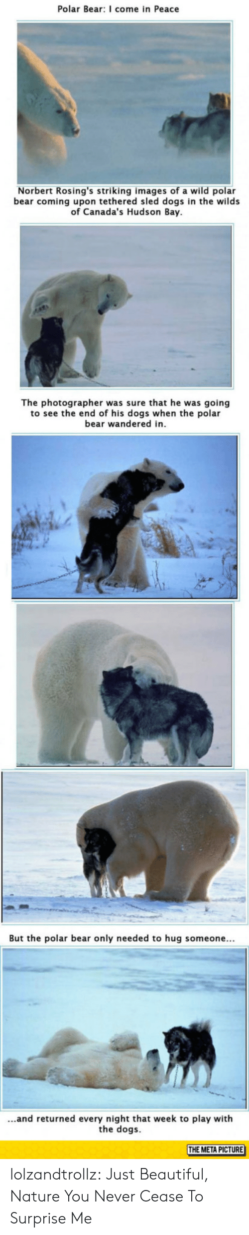 Beautiful, Dogs, and Tumblr: Polar Bear: I come in Peace  Norbert Rosing's striking images of a wild polar  bear coming upon tethered sled dogs in the wilds  of Canada's Hudson Bay  The photographer was sure that he was going  to see the end of his dogs when the polar  bear wandered in  But the polar bear only needed to hug someone...  ...and returned every night that week to play with  the dogs  THE META PICTURE lolzandtrollz:  Just Beautiful, Nature You Never Cease To Surprise Me
