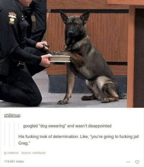 "determination: POLCE  chillimus:  googled ""dog swearing"" and wasn't disappointed  His fucking look of determination. Like, ""you're going to fucking jail  Greg.""  chillimus Source: seifukucat  719.081 notes"