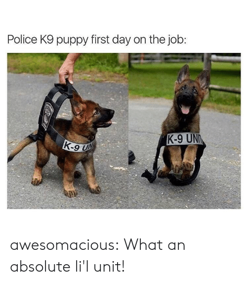Police, Tumblr, and Blog: Police K9 puppy first day on the job:  K-9 UN awesomacious:  What an absolute li'l unit!