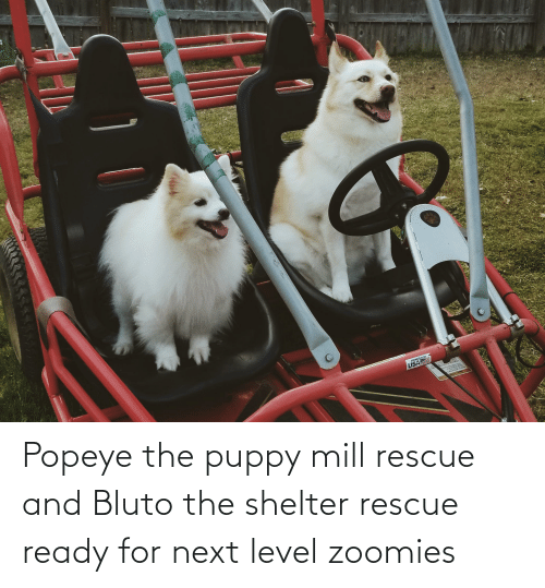 Popeye: Popeye the puppy mill rescue and Bluto the shelter rescue ready for next level zoomies