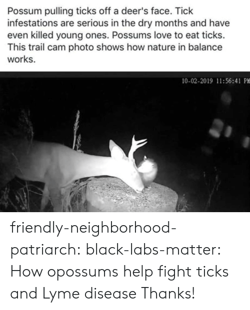 balance: Possum pulling ticks off a deer's face. Tick  infestations are serious in the dry months and have  even killed young ones. Possums love to eat ticks.  This trail cam photo shows how nature in balance  works.  10-02-2019 11:56:41 PM friendly-neighborhood-patriarch: black-labs-matter:  How opossums help fight ticks and Lyme disease    Thanks!