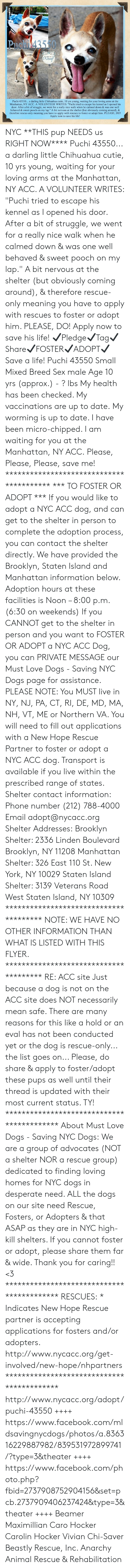 """Chihuahua, Desperate, and Dogs: PRch43550  wWaof  eoUTAD M AT  Puchi 43550.. a darling little Chihuahua cutie, 10 yrs young, waiting for your loving arms at the  Manhattan, NY ACC. A VOLUNTEER WRITES: """"Puchi tried to escape his kennel as I opened his  door. After a bit of struggle, we went for a really nice walk when he calmed down & was one well  behaved & sweet pooch on my lap."""" A bit nervous at the shelter (but obviously coming around), &  therefore rescue-only meaning you have to apply with rescues to foster or adopt him. PLEASE, DO!  Apply now to save his life! NYC **THIS pup NEEDS us RIGHT NOW**** Puchi 43550... a darling little Chihuahua cutie, 10 yrs young, waiting for your loving arms at the Manhattan, NY ACC. A VOLUNTEER WRITES: """"Puchi tried to escape his kennel as I opened his door. After a bit of struggle, we went for a really nice walk when he calmed down & was one well behaved & sweet pooch on my lap."""" A bit nervous at the shelter (but obviously coming around), & therefore rescue-only meaning you have to apply with rescues to foster or adopt him. PLEASE, DO! Apply now to save his life!   ✔Pledge✔Tag✔Share✔FOSTER✔ADOPT✔Save a life!  Puchi 43550 Small Mixed Breed Sex male Age 10 yrs (approx.) - ? lbs  My health has been checked.  My vaccinations are up to date. My worming is up to date.  I have been micro-chipped.   I am waiting for you at the Manhattan, NY ACC. Please, Please, Please, save me!  **************************************** *** TO FOSTER OR ADOPT ***   If you would like to adopt a NYC ACC dog, and can get to the shelter in person to complete the adoption process, you can contact the shelter directly. We have provided the Brooklyn, Staten Island and Manhattan information below. Adoption hours at these facilities is Noon – 8:00 p.m. (6:30 on weekends)  If you CANNOT get to the shelter in person and you want to FOSTER OR ADOPT a NYC ACC Dog, you can PRIVATE MESSAGE our Must Love Dogs - Saving NYC Dogs page for assistance. PLEASE NOTE: You MUST l"""