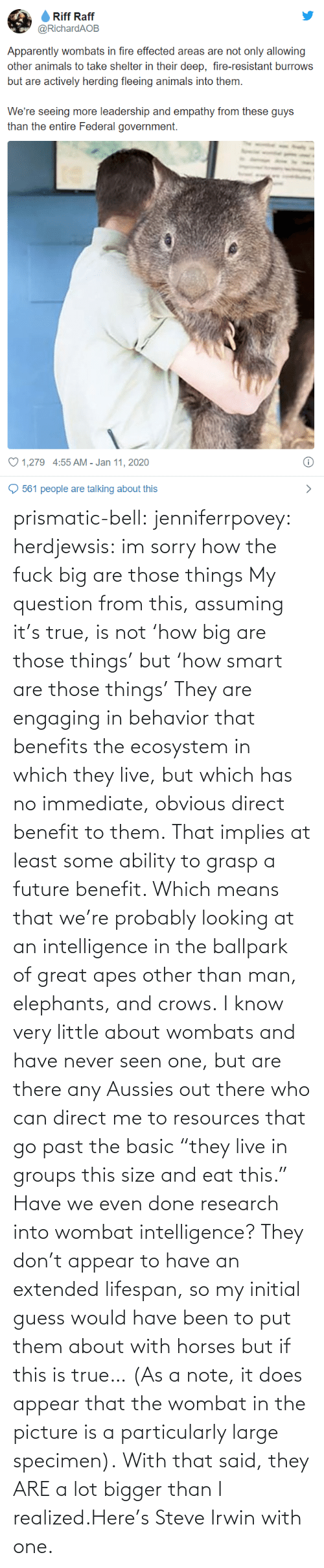 "Benefits: prismatic-bell:  jenniferrpovey: herdjewsis: im sorry how the fuck big are those things My question from this, assuming it's true, is not 'how big are those things' but 'how smart are those things' They are engaging in behavior that benefits the ecosystem in which they live, but which has no immediate, obvious direct benefit to them. That implies at least some ability to grasp a future benefit. Which means that we're probably looking at an intelligence in the ballpark of great apes other than man, elephants, and crows. I know very little about wombats and have never seen one, but are there any Aussies out there who can direct me to resources that go past the basic ""they live in groups this size and eat this."" Have we even done research into wombat intelligence? They don't appear to have an extended lifespan, so my initial guess would have been to put them about with horses but if this is true… (As a note, it does appear that the wombat in the picture is a particularly large specimen).  With that said, they ARE a lot bigger than I realized.Here's Steve Irwin with one."