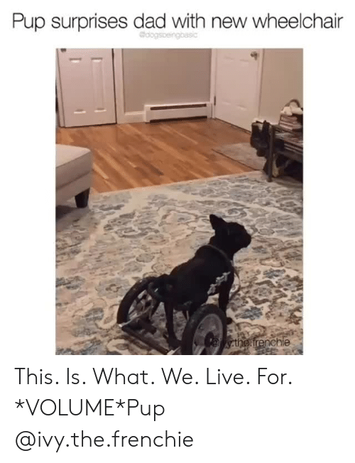 Frenchie: Pup surprises dad with new wheelchair  the frenchie This. Is. What. We. Live. For. *VOLUME*Pup @ivy.the.frenchie