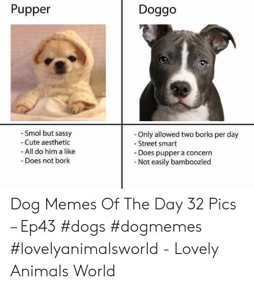 Animals, Cute, and Dogs: Pupper  Doggo  Smol but sassy  Cute aesthetic  All do him a like  Does not bork  -Only allowed two borks per day  Street smart  -Does pupper a concern  -Not easily bamboozled Dog Memes Of The Day 32 Pics – Ep43 #dogs #dogmemes #lovelyanimalsworld - Lovely Animals World