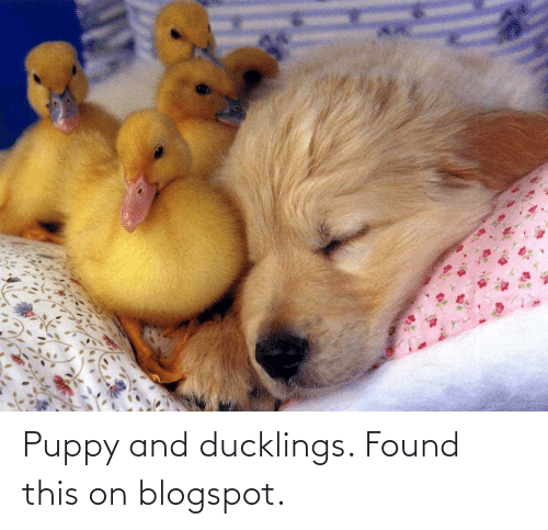 Blogspot: Puppy and ducklings. Found this on blogspot.