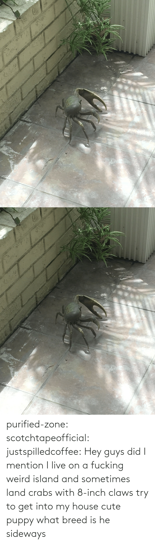 hey guys: purified-zone: scotchtapeofficial:  justspilledcoffee:  Hey guys did I mention I live on a fucking weird island and sometimes land crabs with 8-inch claws try to get into my house  cute puppy what breed is he  sideways