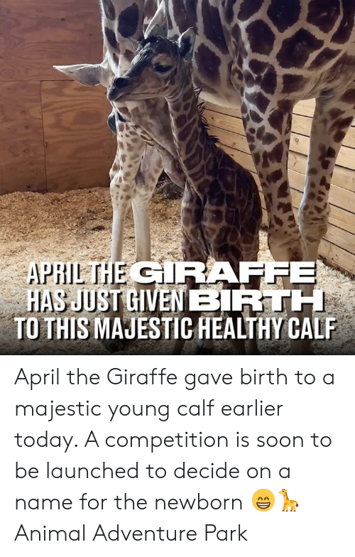 Dank, Soon..., and Animal: R:  TO THIS MAJESTIC HEALTHY CALP April the Giraffe gave birth to a majestic young calf earlier today. A competition is soon to be launched to decide on a name for the newborn 😁🦒  Animal Adventure Park