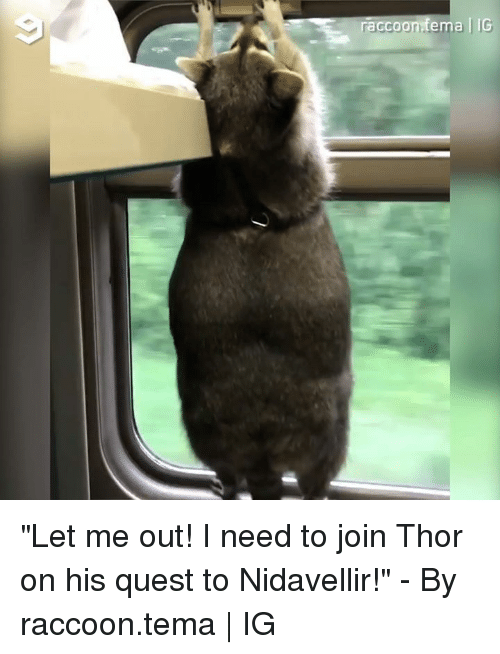 "let me out: raccoonfema | IG ""Let me out! I need to join Thor on his quest to Nidavellir!"" - By raccoon.tema 