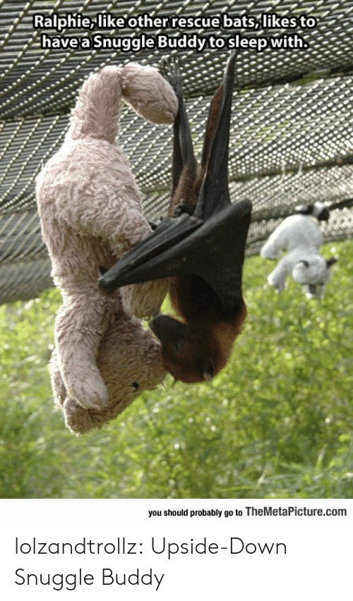 Ralphie, Tumblr, and Blog: Ralphie, like otherrescue bats,likes to  have a Snuggle Buddy to sleep with.  you should probably go to TheMetaPicture.com lolzandtrollz:  Upside-Down Snuggle Buddy