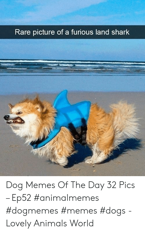 Animals, Dogs, and Memes: Rare picture of a furious land shark Dog Memes Of The Day 32 Pics – Ep52 #animalmemes #dogmemes #memes #dogs - Lovely Animals World