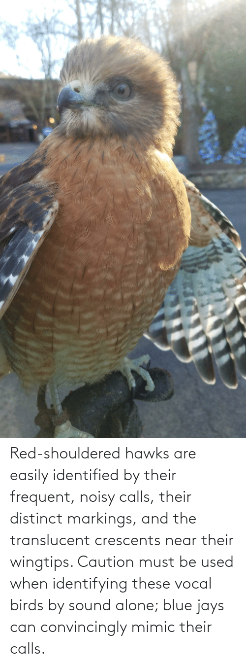 sound: Red-shouldered hawks are easily identified by their frequent, noisy calls, their distinct markings, and the translucent crescents near their wingtips. Caution must be used when identifying these vocal birds by sound alone; blue jays can convincingly mimic their calls.