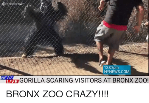 Bronx: reedobrown  12:02pm  NYNEWS.COM  NEWS  LIVE  GORILLA SCARING VISITORS AT BRONX ZOO BRONX ZOO CRAZY!!!!