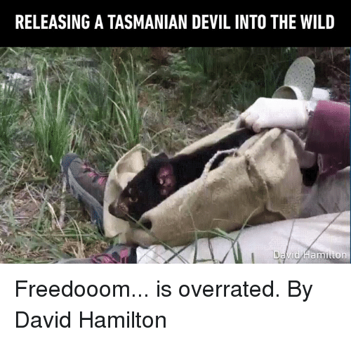 Dank, Devil, and Wild: RELEASING A TASMANIAN DEVIL INTO THE WILD Freedooom... is overrated.  By David Hamilton