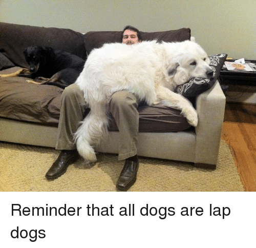 laps: Reminder that all dogs are lap dogs