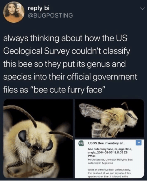 """Argentina: reply bi  @BUGPOSTING  always thinking about how the US  Geological Survey couldn't classify  this bee so they put its genus and  species into their official government  files as """"bee cute furry face""""  USGS Bee Inventory an.  bee cute furry face, m, argentina,  angle 2014-08-07-18.11.05 ZS  PMax  Mourecotelles, Unknown Hairyeye Bee,  collected in Argentina  What an attractive bee, unfortunately  that is about all we can say about this  species other than it is found in the"""
