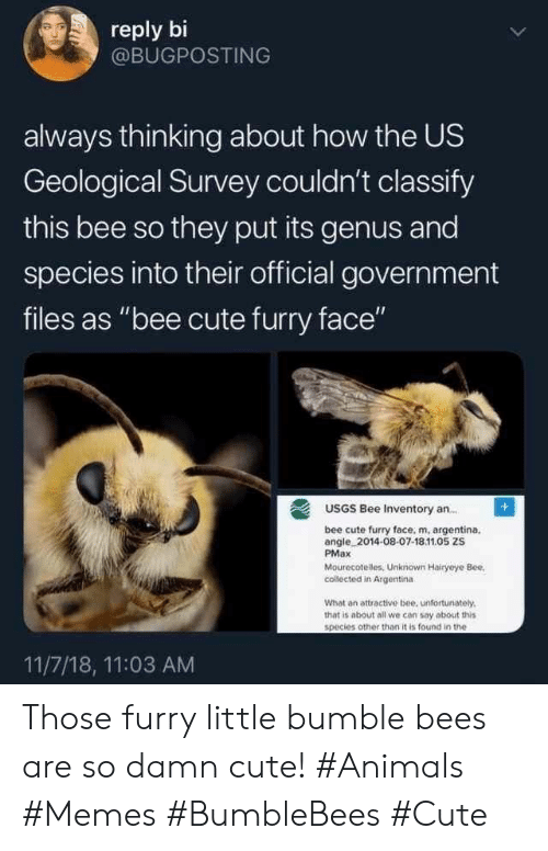 "Other Than: reply bi  @BUGPOSTING  always thinking about how the US  Geological Survey couldn't classify  this bee so they put its genus and  species into their official government  files as ""bee cute furry face""  USGS Bee Inventory an..  bee cute furry face, m, argentina.  angle 2014-08-07-18.11.05 ZS  PMax  Mourecotelles, Unknown Hairyeye Bee  collected in Argentina  What an attractive bee, unfortunately.  that is about all we con say about this  species other than it is found in the  11/7/18, 11:03 AM Those furry little bumble bees are so damn cute! #Animals #Memes #BumbleBees #Cute"