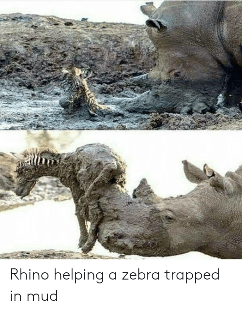 mud: Rhino helping a zebra trapped in mud